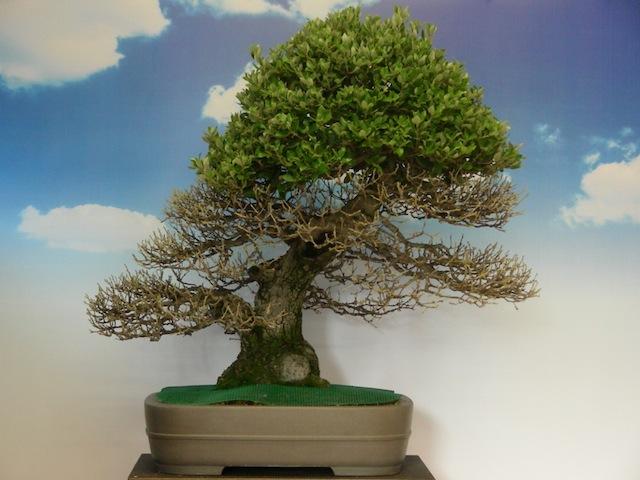 Quercus Ilex Bonsai Empire