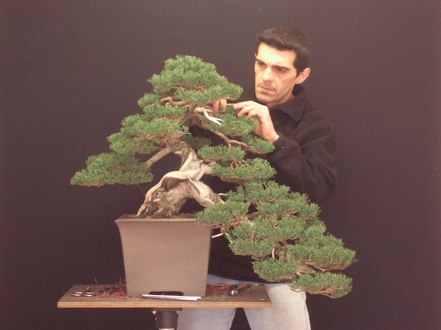 Sempervirens bonsai