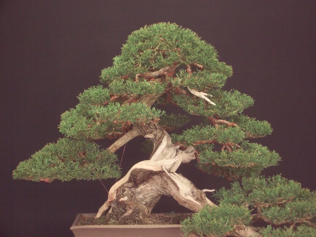 Apex of the bonsai