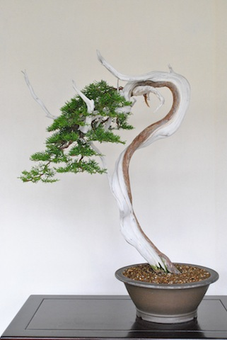 Juniper bonsai after wiring