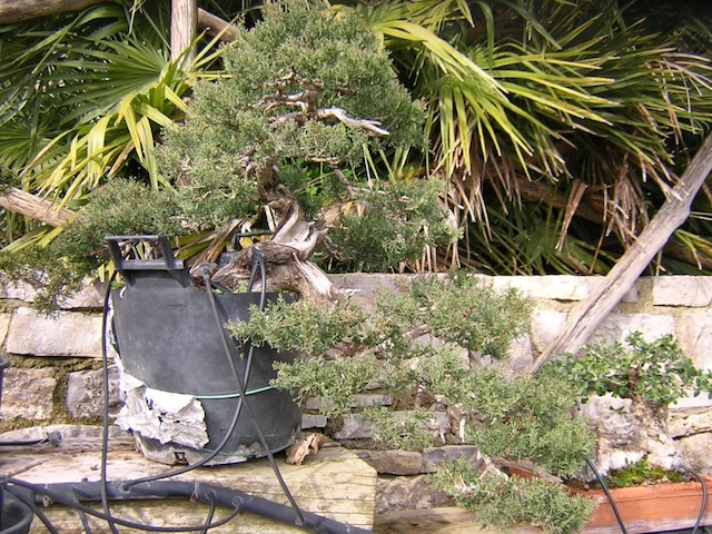 Cumpressus Sempervirens bonsai