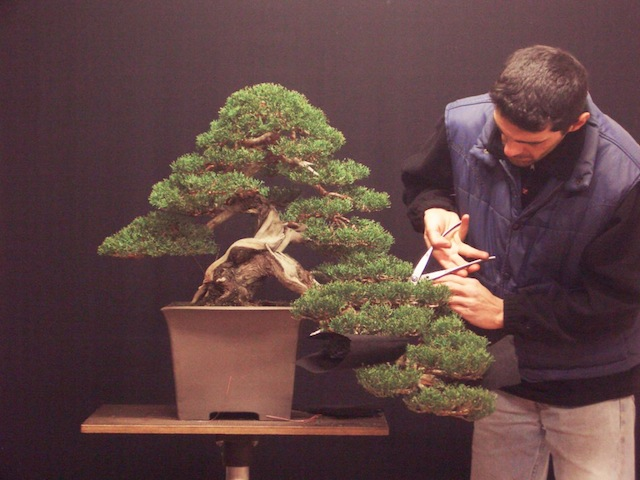 Foliage mass of the bonsai