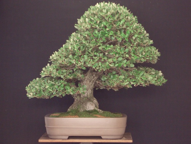 Quercus bonsai