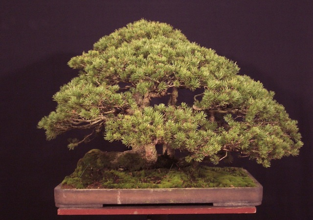 Pinus sylvestris bonsai tree