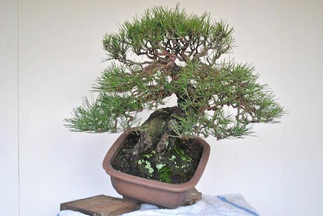 advanced wiring bonsai empire rh bonsaiempire com Bonsai Styles Bonsai Copper Wire