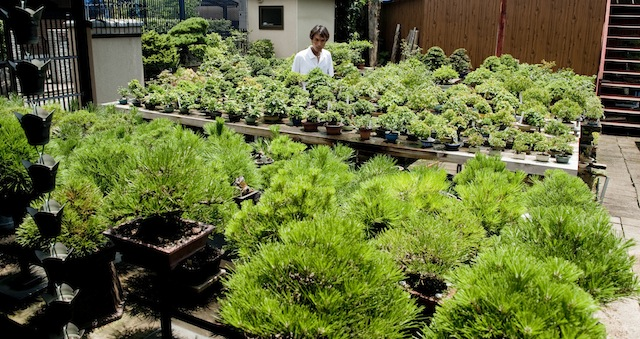 Bonsai nursery in Japan