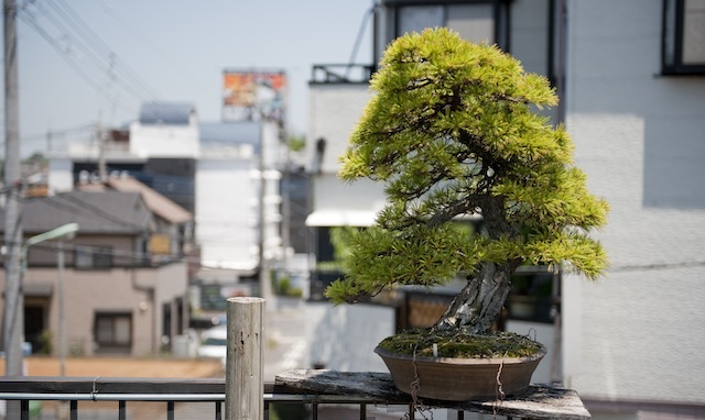 Pine Bonsai at Yorozuen Japan