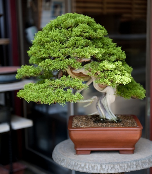 Tojuen Juniper bonsai, Japan