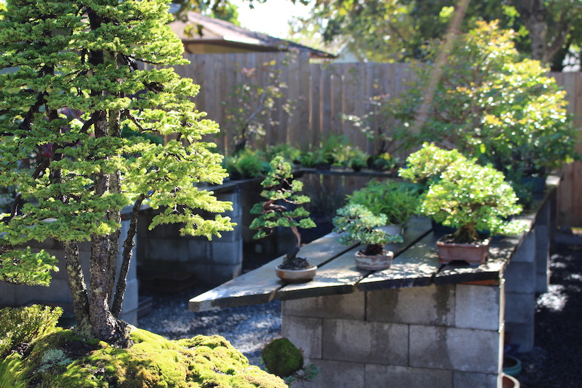 Shohin bonsai trees