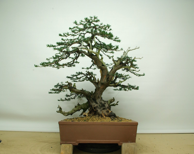 In a Bonsai pot and wired