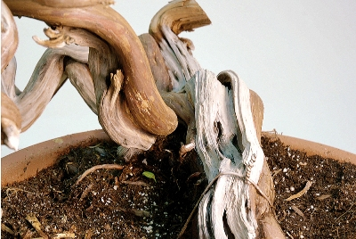 Detail of bonsai trunk