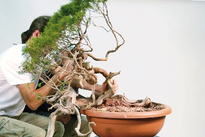 The Bonsai tree, raw material