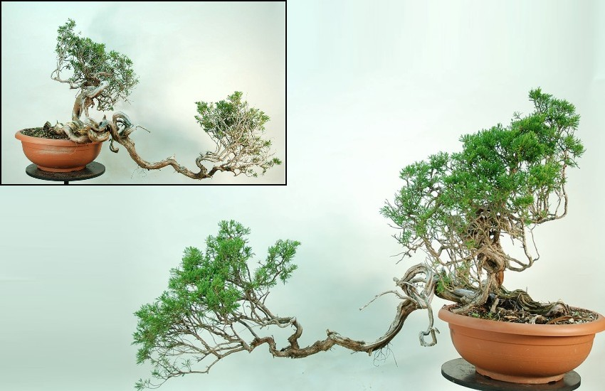 Before the evolution of the Bonsai