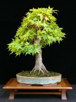 Bonsai Frankfurt bonsai on a budget - bonsai empire