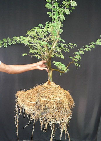 roots of a Brazilian rain tree bonsai