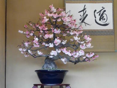 Cherry Blossom Bonsai Bonsai Empire