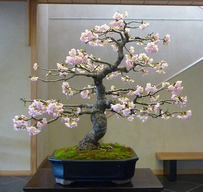 Cherry Bonsai tree at the Omiya Bonsai Art Museum.