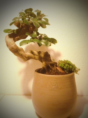 Ficus after