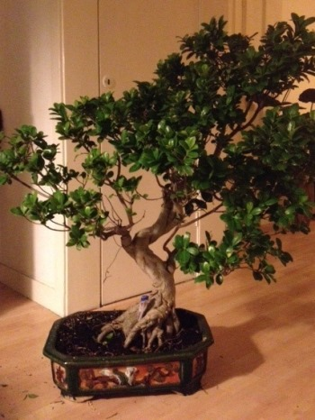 Ficus Bonsai before