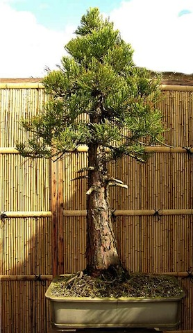 Sequoia bonsai