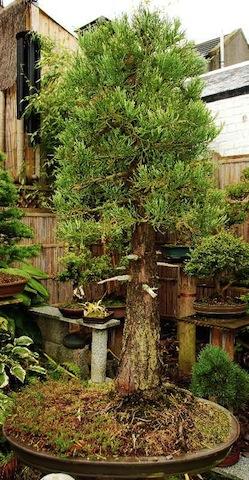 Giant Sequoia Bonsai Empire