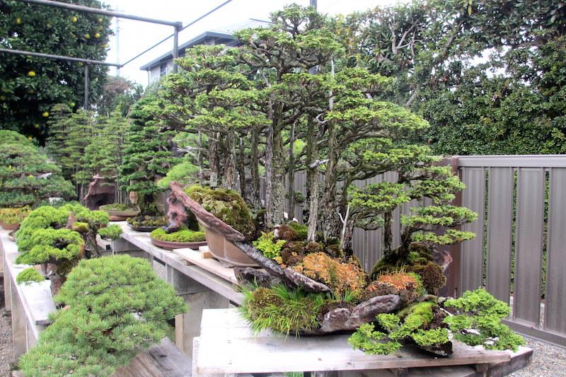 Kimura's Bonsai forest