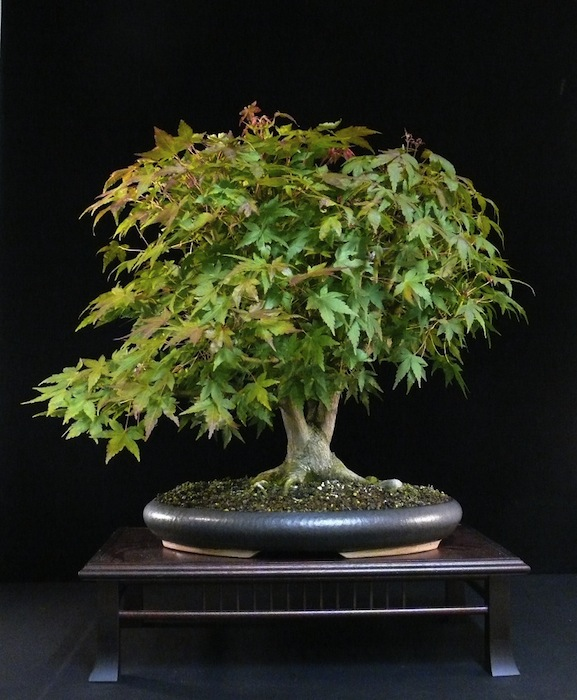 Multitrunk Japanese maple bonsai