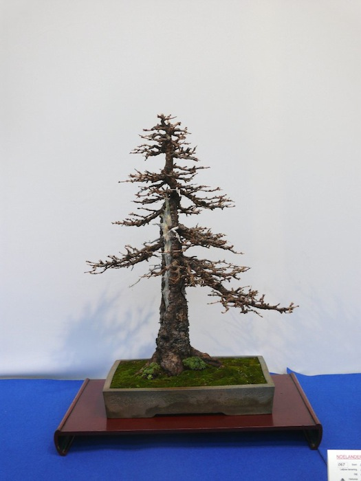 Formal upright larch bonsai