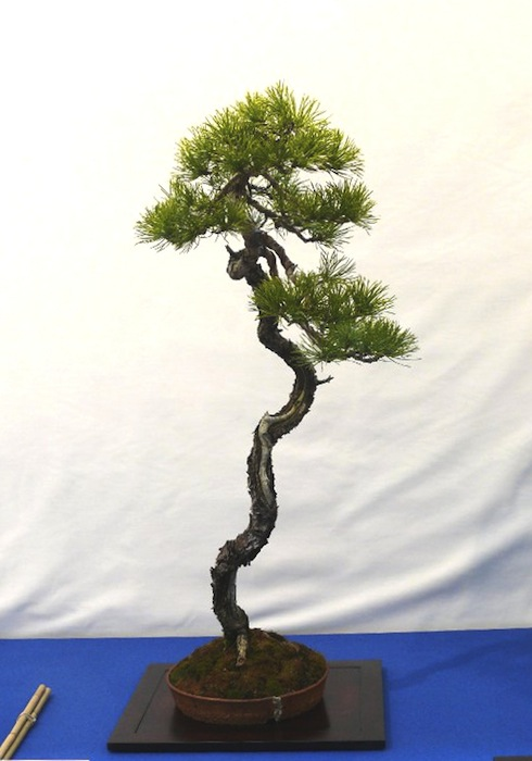 Bunjin pine in a small round pot