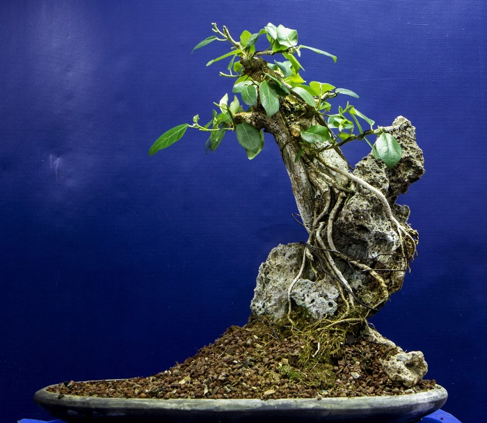 Ficus bonsai on rock