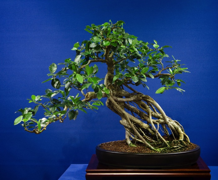 Aerial roots on ficus bonsai