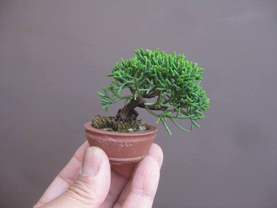 Juniper Mini Bonsai