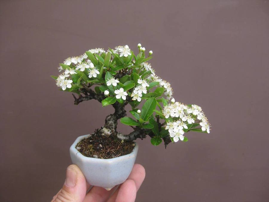Pyracantha Mini Bonsai