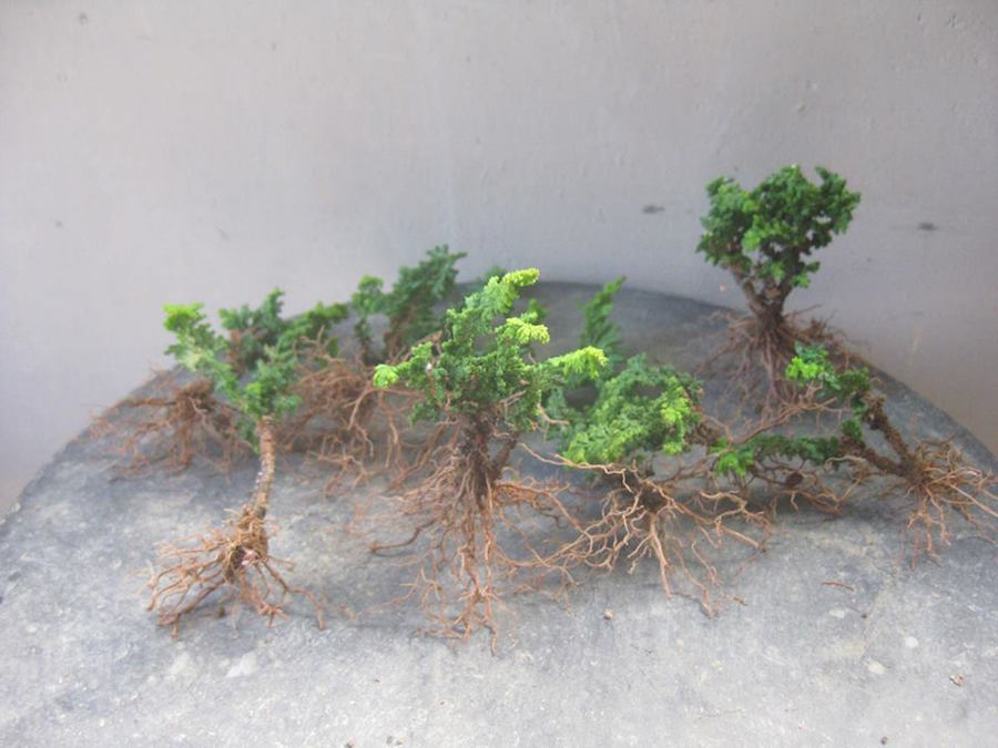 Hinoki seedlings