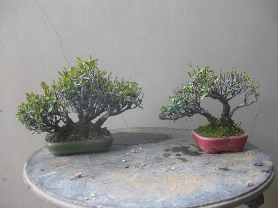 Chirimenkazura Mini Bonsai