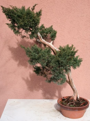 Raw material bonsai