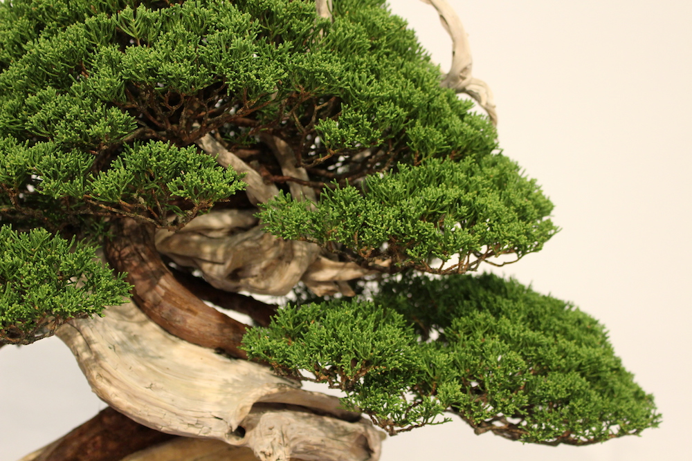Juniper bonsai foliage