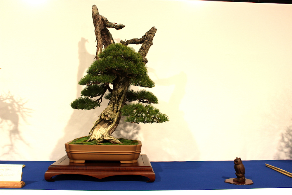 Pinus mugo bonsai