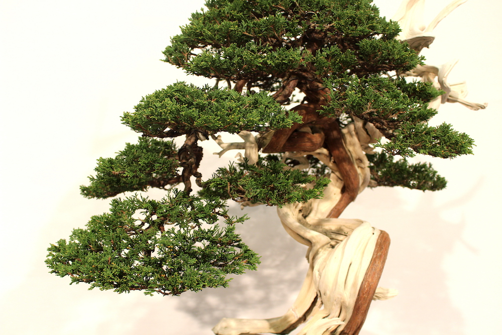 Juniperus Sabina bonsai