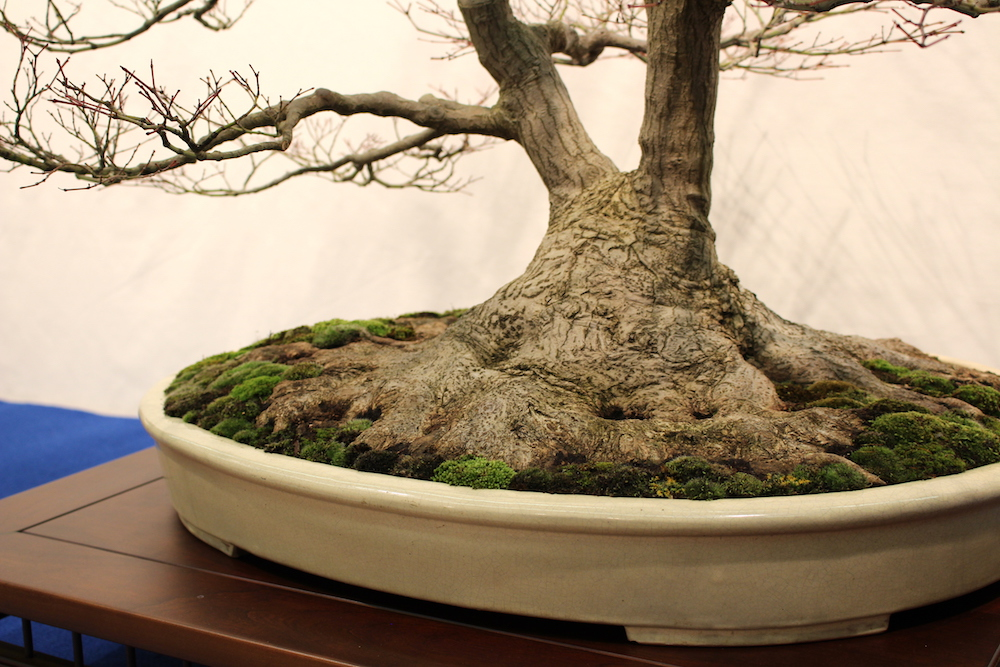 Nebari on bonsai