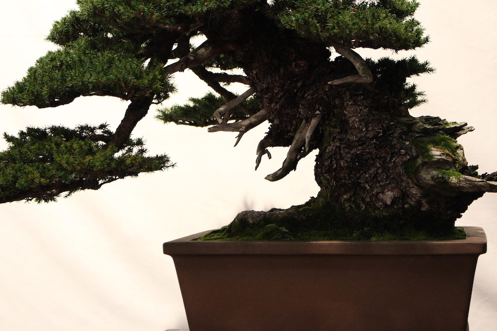Closeup on bonsai trunk