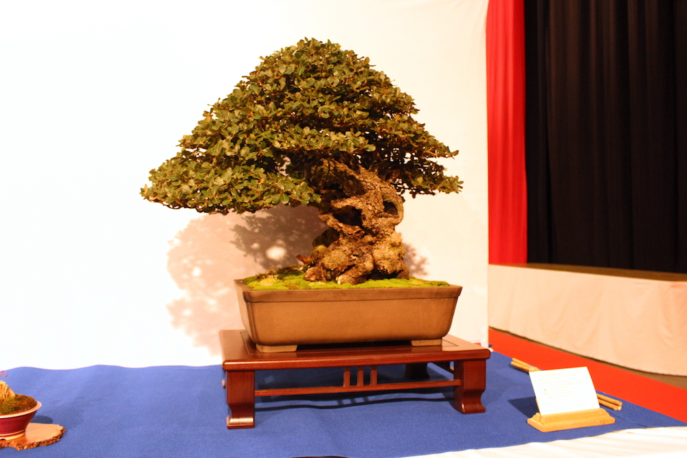 Quercus ilex bonsai