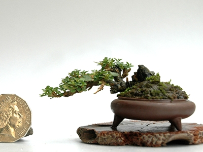 super mini bonsai bonsai empire. Black Bedroom Furniture Sets. Home Design Ideas