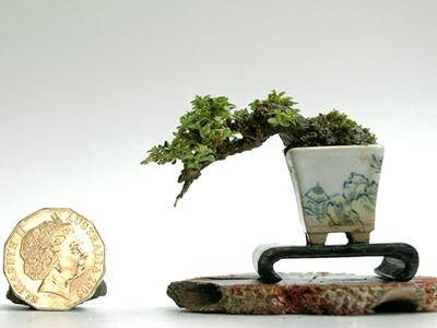 super mini bonsai bonsai empire. Black Bedroom Furniture Sets. Home Design Ideas