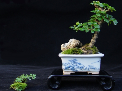 Mini bonsai robert steven