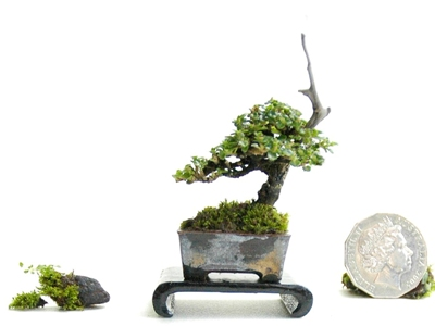 Premna Microphylla mini Bonsai