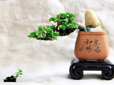 mame bonsai robert steven