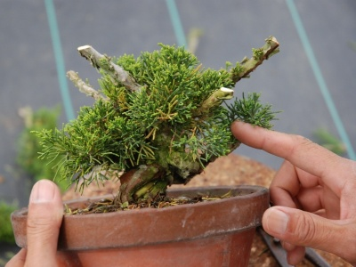 Shimpaku Juniper From Nursery Stock Bonsai Empire