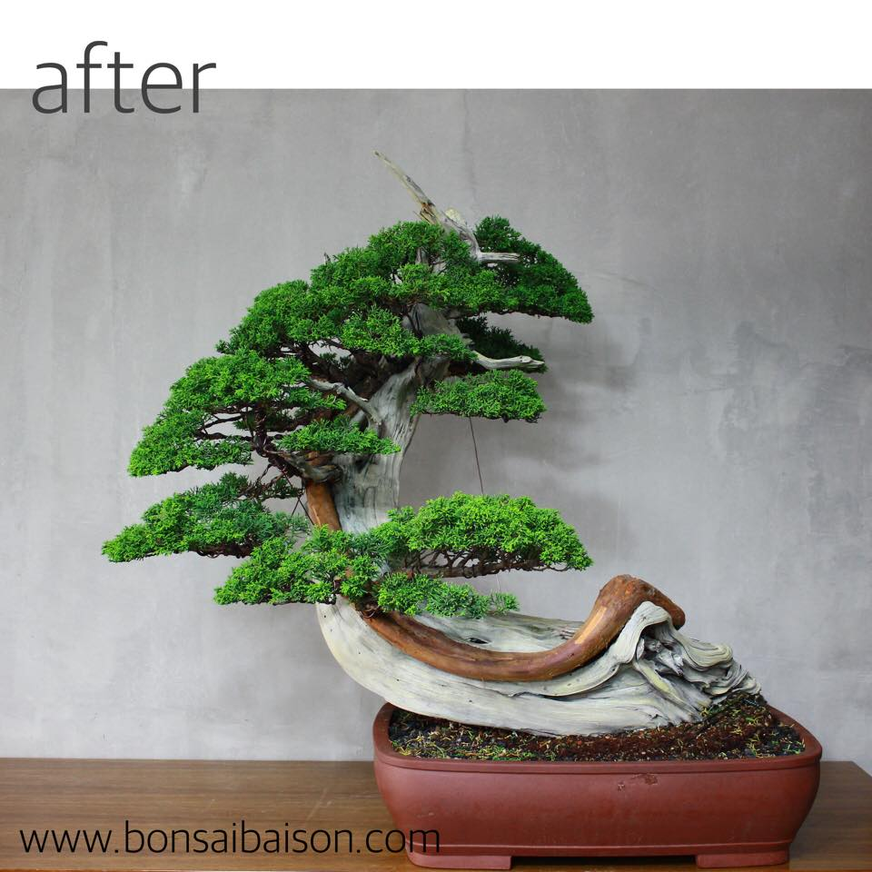 The Great Wave Off Kanagawa Bonsai Empire Wiring Cypress Same Tree After Pruning And A Stunning Result