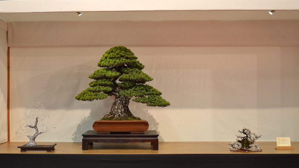 Pinus bonsai